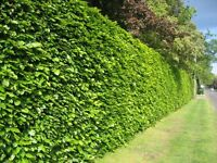 Green Beech Hedging plants - Bare Root
