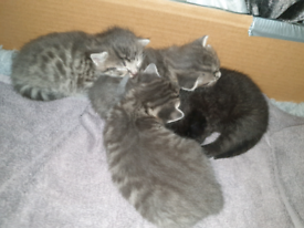 4 kittens for sale (ALL KITTENS NOW RESERVED)