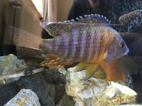 2 Malawi peacocks for sale cichlid African