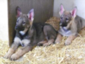 German Shepherd Puppies ready for new home