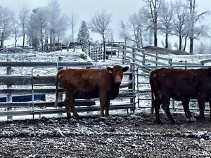 Bred Heifers For Sale  Strathcona County Edmonton Area image 3