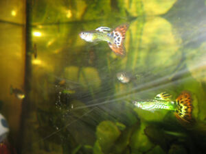 Guppies (female and male)