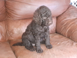 Standard poodle puppies!!