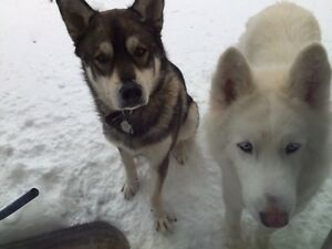 Two beautiful Siberian Huskies