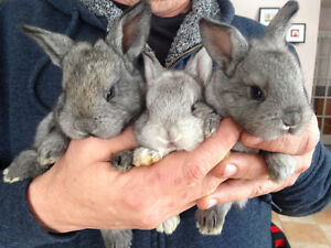 Flemish Giant and Vienna Blue Bunnies for sale