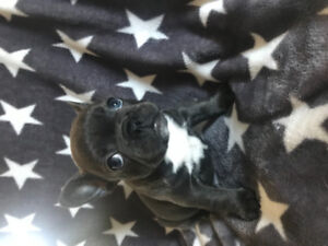 Oops! She did it again! French bulldog puppies available.