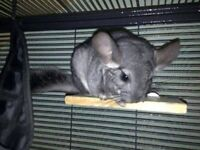 Male chinchilla and cage