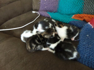 Five sweet kittens available in a few weeks.