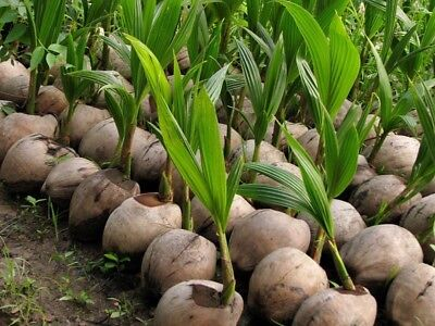 Coconut Tree  Green  Nucifera Live Palm Sprouted Ready To Plant Usa Seller