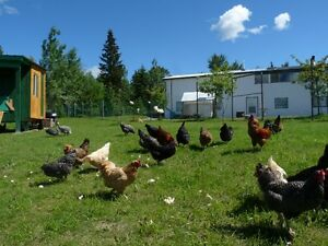 BABY CHICKENS TAKING ORDERS MARCH TO JULY