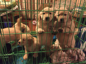 Golden retriever puppies looking for new home