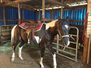 2.5 year old gelding  ready to be started