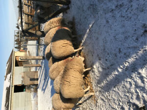 17 Lambs - For Sale