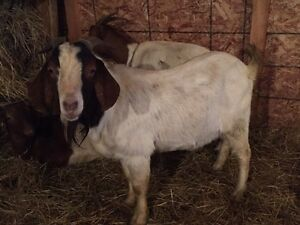 Boer cross buck for sale