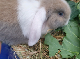 Ready now still available,updated Fri 22nd Boy Baby Mini lops rabbits