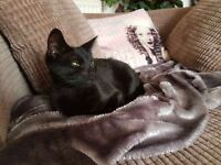6 month female black kitten for sale