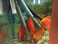 4 beautiful adult discus with fish tank all you need