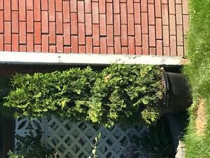For sale 5' Cedar tree