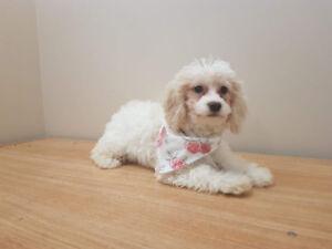Maltipoo Puppy