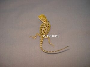 Citrus Tiger Bearded Dragons - Mississauga
