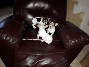 Beautiful Chihuahua Puppies--ALL  SOLD-- i
