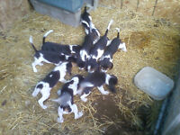 Pure Breed Beagle Puppies