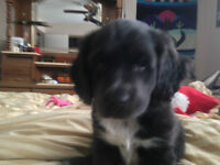 pup for sale