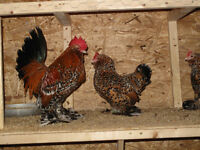 hatching chicken eggs - various bantam breeds