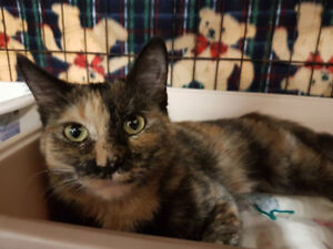 Darla 6mth old kitten- spayed, vaccinated, microchipped