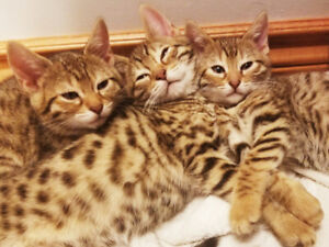 Bengal Cubs ready for loving homes