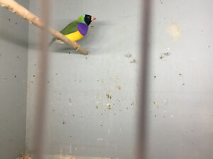 Male Gouldian----SOLD