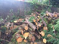 Free freshly cut conifer logs