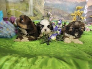 Shih tzu , parent et grand- parent sur place