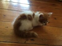 Beautiful ginger and white male kitten