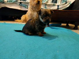 Tiny little puppy boy Yorkie shih Tzu chihuahua mix Ready very soon