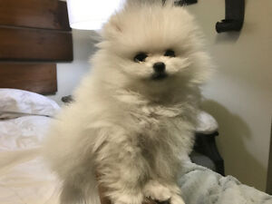 Adorable Tiny Pomeranian