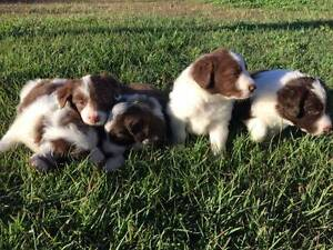 Beautiful Chocolate and White Border Collies Marburg Ipswich City Preview