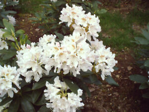 Rhododendrons & more