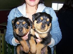 Rottweiler chiot male
