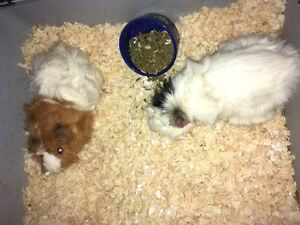 2 guinea pigs with cage.
