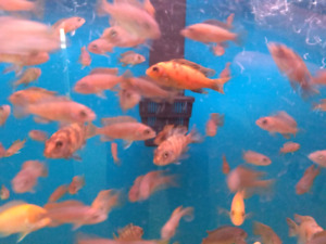 African cichlid fry $3 each