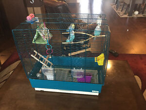 Three budgies for sale !