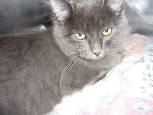 Kitten - Jerry Lee Lewis available for Adoption!!