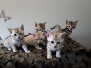 brown and snow bengal kittens