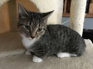 Munchkin Female Kitten looking for New Home - Video Updated