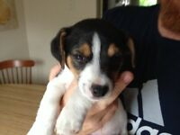 Adorable Jack Russels for sale