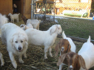 TOP QUALITY GOATS FOR SALE !!!!!  SOME NICE YOUNG BUCKS