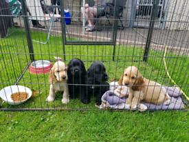 Gorgeous Show Type Cocker Spaniel Pups for Sale