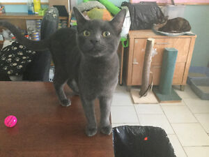 """grey male young cat """"NICKLE"""" London Ontario image 6"""