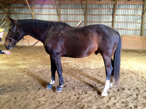 Sport horse gelding (companion OR reputable training home) Cambridge Kitchener Area image 2